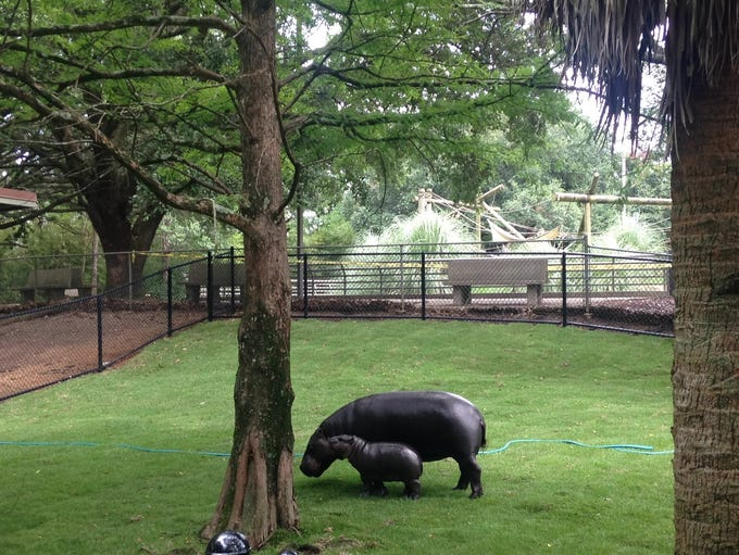 Montgomery Zoo unveils rare male pygmy hippo to a crowd
