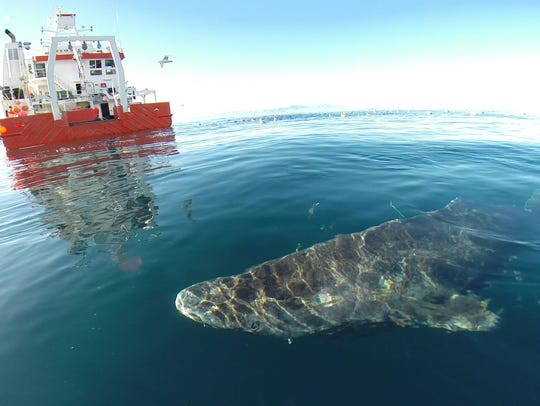 A Greenland shark near the surface after its release