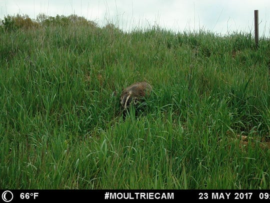 An American badger is shown on a trail camera image