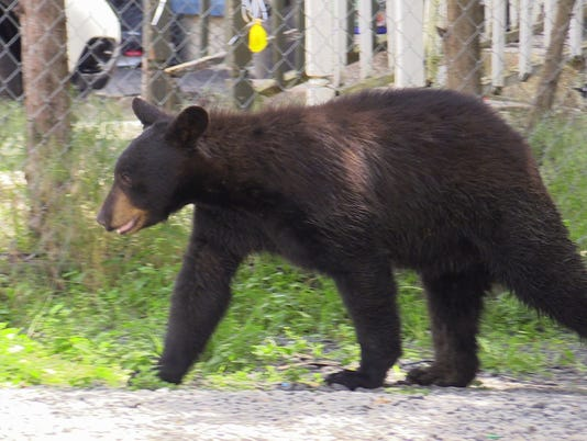 Haverstraw bear