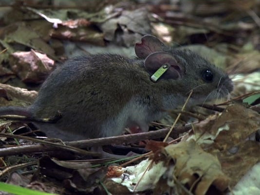 636647485361025928-GREBrd2-07-11-2017-GN-1-D004-2017-07-07-IMG-White-footed-mouse-6-1-2LITSOS2-L1059223141-IMG-White-footed-mouse-6-1-2LITSOS2.jpg