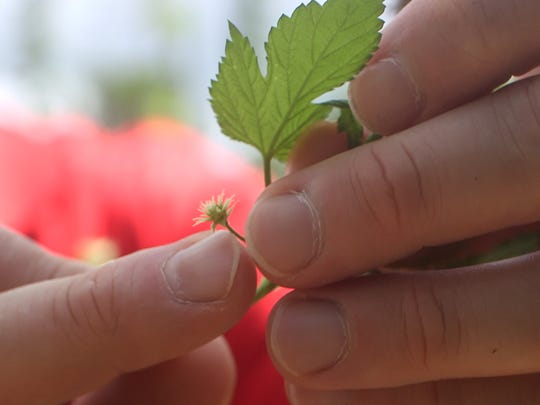 A young hop sprouts at The Fir Farm in Colts Neck