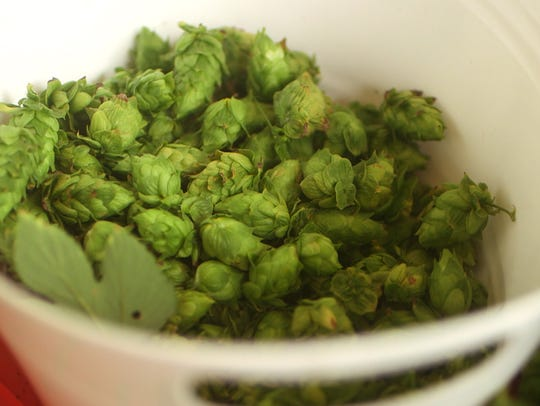 Freshly harvested hops picked at the Fir Farm in Colts
