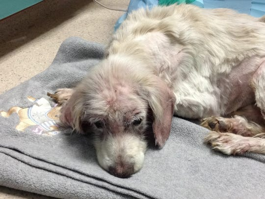 """Samurai, better known as """"Sammy"""" at Red Bank Veterinary Hospital, recovers Sunday after being delivered days earlier to the Society for the Prevention of Cruelty to Animals covered in his own hardened waste and near death."""