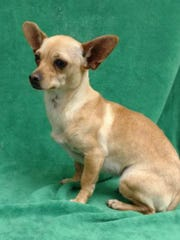 Allie is a 2-year-old, female Chihuahua mix who weighs about 10 pounds. She gets along well with other dogs, walks well on her leash and is crate trained. The $75 adoption fee helps cover spay/neuter, vaccinations, microchip, vetting, food and care. Call Pets Without Partners at 243-6911. Go to www.petswithoutpartners.org.