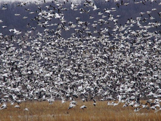 A massive flock of snow geese was photographed recently