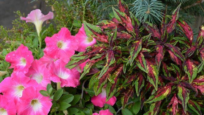 Combined with blue spruce and pink petunias, this Chili Pepper coleus makes a happy plant marriage of unlikely partners.