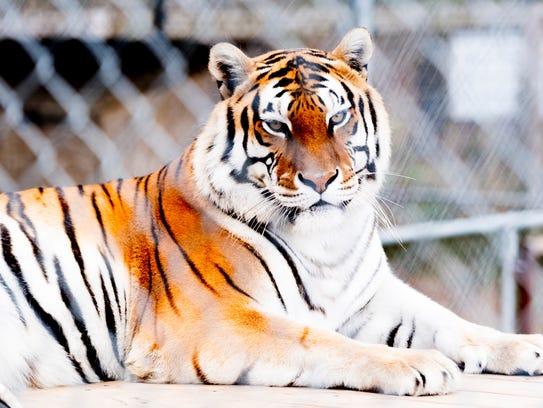 A tiger peers through its enclosure at Little Ponderosa