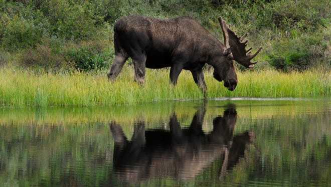 Bull Moose (Alces alces) wades into a kettlehole pond to feed on the aquatic grasses there. Denali National Park, Alaska.
