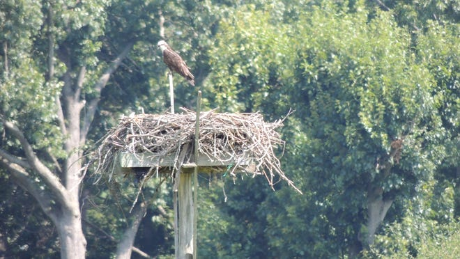 An osprey nesting platform at the 35-acre Otter Creek Preserve in Mamaroneck