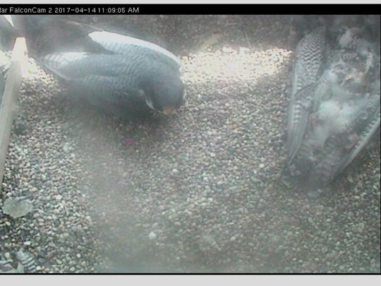 A peregrine falcon sits atop four eggs in the Market Tower nest box. Nearby is the body of a falcon believed to be KathyQ, the female who ruled this nest since 2001.