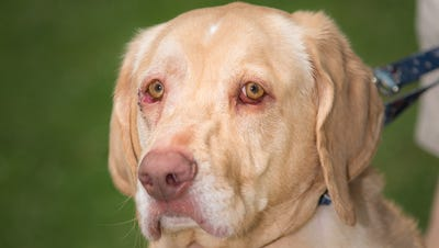 Lola is a 3-year-old yellow Lab/Golden Retriever mix.
