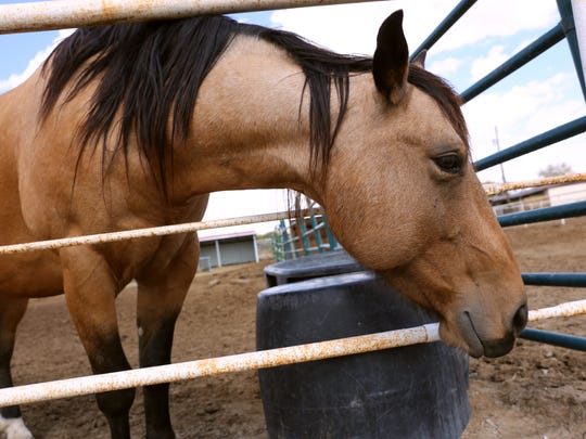 Buff looks out of his pen Wednesday at Four Corners Equine Rescue.