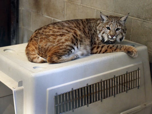 Rocky 3 Is Supposed To Be A Cross Between Bobcat And Maine If His Pedigree Pure He Won T Able Go Home Owner