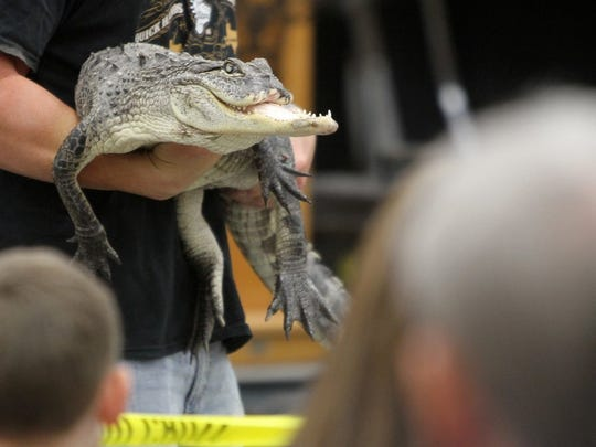 An alligator whose jaw was bitten off by another alligator