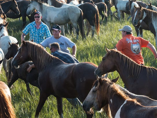 Saltwater Cowboys herd ponies on land just after the