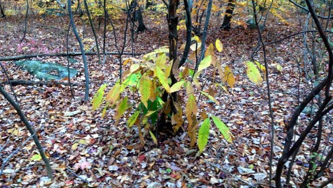 Since 1900, the American chestnut, once ubiquitous in New Jersey forests, has been attacked by a fungus that kills it down to the soil. The roots may survive and send up new shoots, but  the fungus will reassert itself and the sapling dies back.