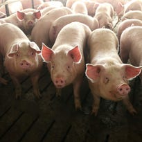 Hogs occupy pens at a confinement facility near Ayrshire, Iowa, on Friday, Feb. 6, 2015. The facility is operated by New Fashion Pork, which is based out of Minnesota.