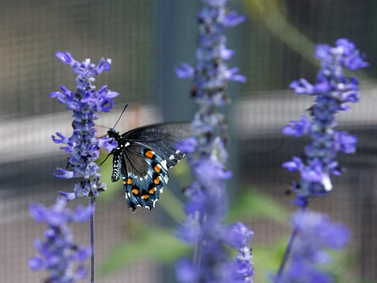 Each week on the Desert Botanical Garden grounds, hundreds of new butterflies arrive, such as painted ladies, zebra longwings and ones like this - a Pipeline Swallowtail.