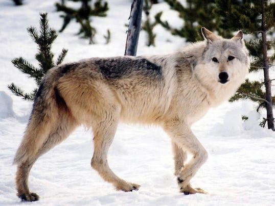 AP Hunting Wolves Yellowstone