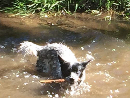 Dogs with a leash are allowed on most trails. This little heeler enjoys the sunshine while playing fetch in a pond.