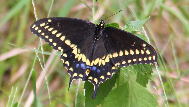 The black swallowtail was named New Jersey's official state butterfly by the legislature.