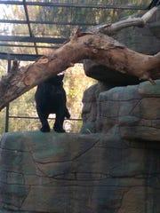 Fitz, the 2-year-old jaguar, lives in a two-story habitat at the Wildlife World Zoo, Aquarium & Safari Park near Litchfield Park.
