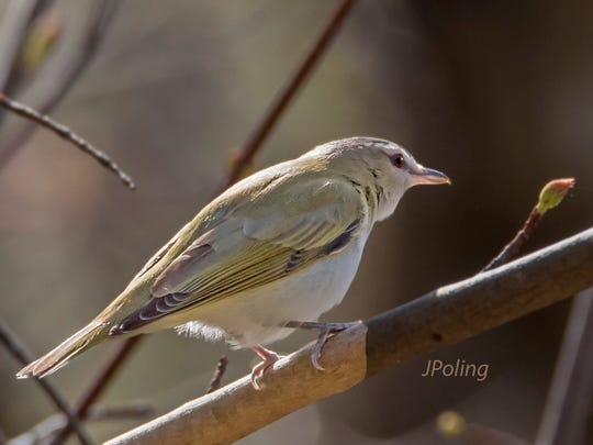 The Red-eyed Vireo makes its home in the Valley during breeding season.