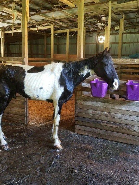 636649435810247540-Emaciated-horse.jpg