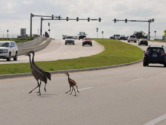 Walter Arksey photographed this family of sandhill cranes crossing Fellsmere Road.