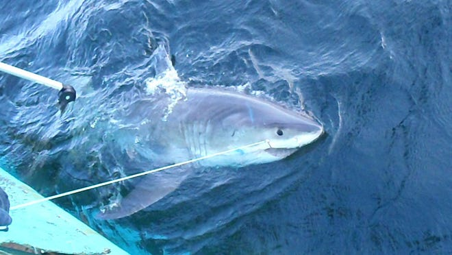 Federal researchers captured and tagged more than 2,800 sharks, like this white shark, this spring on the East Coast.