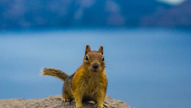A ground squirrel demands a photo at Crater Lake. On Nov. 22, a squirrel caused a two-hour power outage in the heart of Silicon Valley, media reports said.