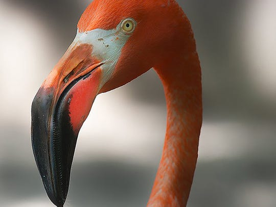 Inspiration for many a lawn ornament, a real flamingo