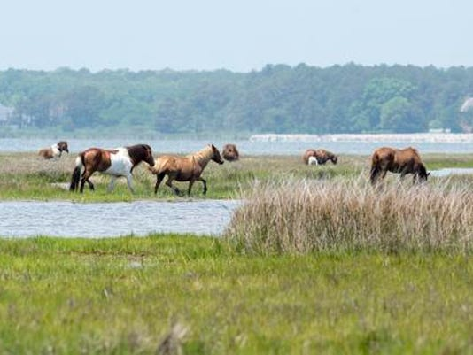 635748198625820124-Assateague-horses-1469b.jpg-20140806