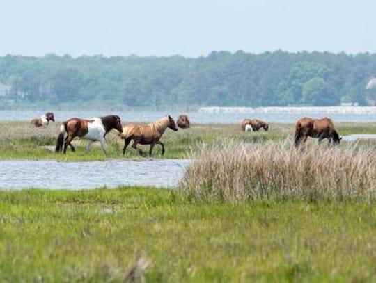 A herd of wild horses grazes in the marsh at Assateague