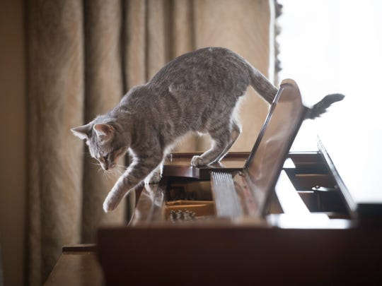 Pence's family cat Hazel walks across the piano in
