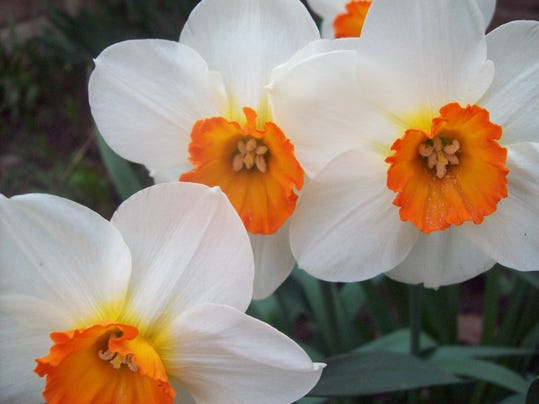 YEAR OF THE DAFFODIL PHOTO 1