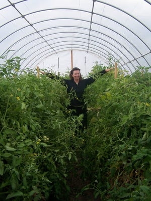 Hoop-house tomatoes at Lattin Farms. Western Nevada College Specialty Crop Institute is holding a Hoop House Production Workshop for experienced growers on Aug. 18 in Yerington.