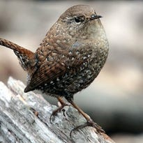 Winter wrens are tiny, energetic birds of the forest floor. Ounce for ounce, they produce more sound than a rooster!