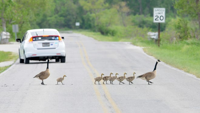 Two Canada geese herd their goslings across the road at Magee Marsh on May 27.  Jonathon Bird/Staff photo A pair of Geese cautiously lead their family across the road at Magee Marsh on Tuesday, May 27, 2014.