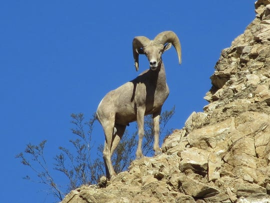 A Peninsular bighorn ram scans the area from a high