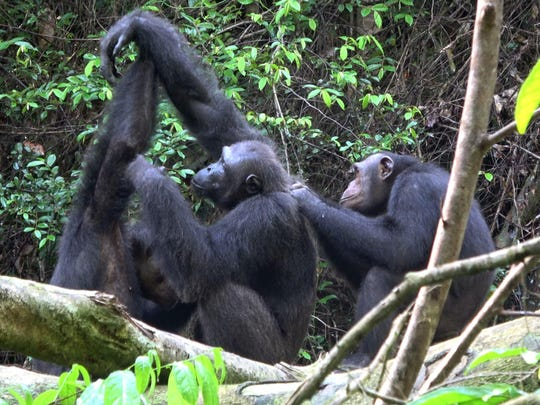 Male chimpanzees of the Rekambo community groom one another in the Logano National Park in Gambia.