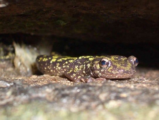 The green salamander is being considered for downlisting