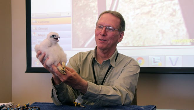 Greg Septon of Muskego, founder of the Wisconsin peregrine falcon recovery project, holds a male peregrine chick at the WE Energies plant in Port Washington. The chick was the 1,000th peregrine Septon has banded in Wisconsin over the last 30 years.