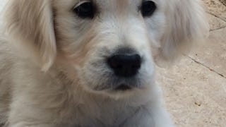 Jamie, Julie Olsen's 8-week-old English Golden Retriever puppy