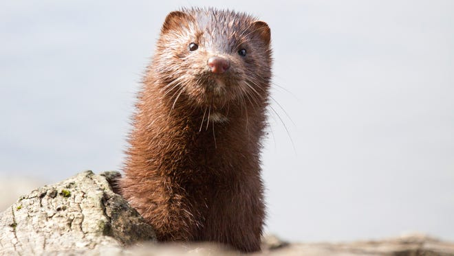 Mink spend most of the day in a den that is often a hole along the banks of water or by the roots of big trees.
