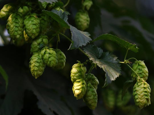Hops not only can be used in brewing but add interest and texture to a garden. Winter is a good time to plant rhizomes.