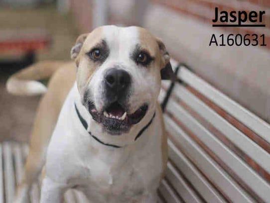Four-year-old Jasper, ID A160631, is male American
