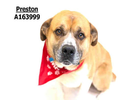 Preston, ID A163999,is a 5-year-old male mastiff at