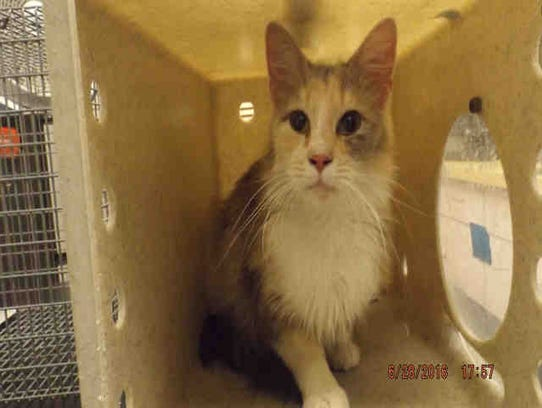 Penelope, ID A166441, is a spayed 1-year-old medium-hair